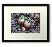 Mature Puffball Framed Print