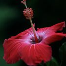 Single Pink Hibiscus Blossom by Renee Blake