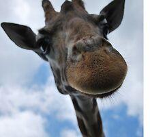 Giraffe by Phidke