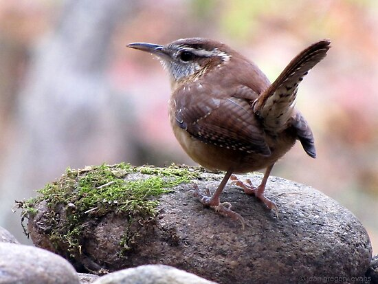Carolina Wren with Perky Tail by Jean Gregory  Evans
