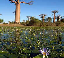 By the Baobab Alley by Martin76