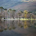 Buttermere Pines by SteveMG