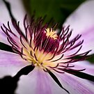 Nellie Moser Clematis by onyonet photo studios