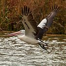 Pelican Take Off by Danielle  Miner