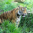One year old Sumatran Tiger by Sheila Smith