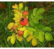 Autumn Rose Hips Photographic Print