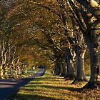 Kingston Lacy beeches by Jennifer Bradford