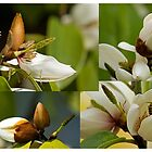Magic Magnolia by reflector