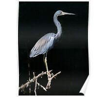 Tri-Colored Heron Poster