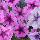 Purple beauty by Felicia Hutchins