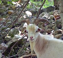 A handsome Billy Goat by Susan S. Kline