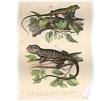Bilder Atlas zur wissenschaftlich populären Naturgeschichte der Wirbelthiere von Leopold Joseph Fitzinger 1867 0027 Picture Atlas for popular scientific natural history of vertebrates Poster
