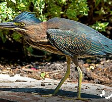 Little Green Heron by Photography by TJ Baccari