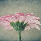 Flat Pink Gerbera Textured by Nicola  Pearson