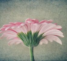 Flat Pink Gerbera Textured by Nicola  Pearson