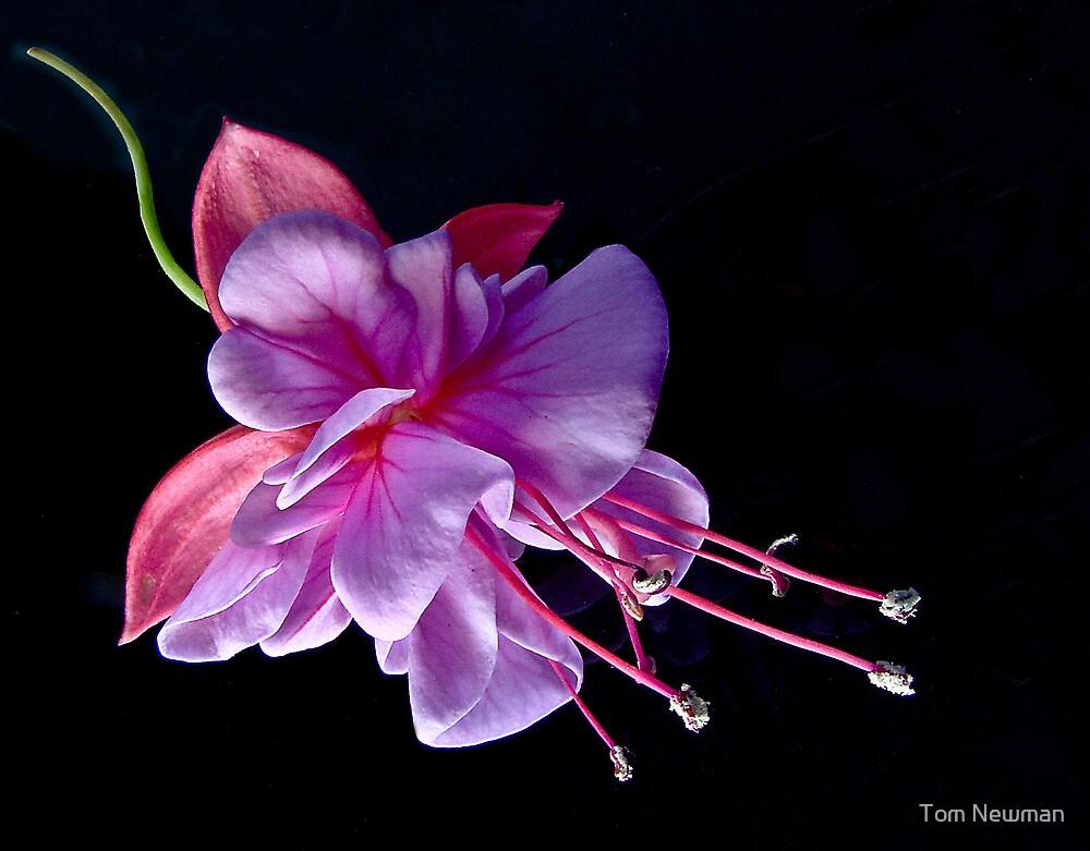 Fuchsia - Heidi Ann by Tom Newman