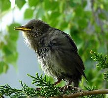 We have Fledged! - Starling - NZ by AndreaEL