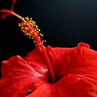 Tropical Flirt~~~[Hibiscus] by Gloria Abbey