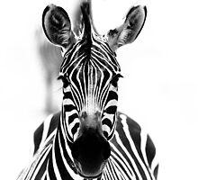 Zebra, Tanzania by robinmoore