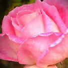 November rose by Maria1606