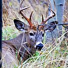 White-tailed buck in November by amontanaview