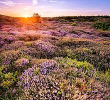 Blooming moorland by MartijnKort