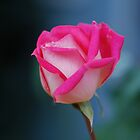 Nov rose by Barbara Anderson
