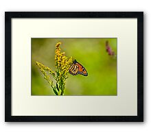 Monarch Butterfly - 42 Framed Print