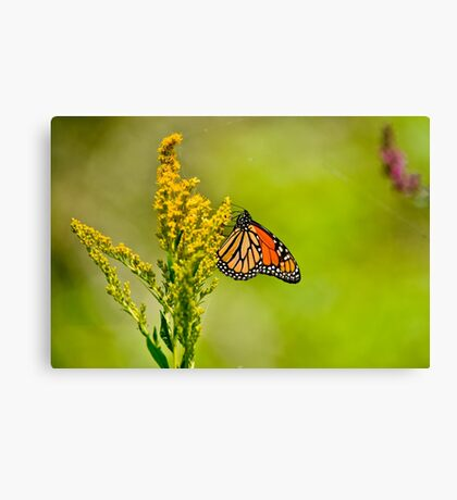 Monarch Butterfly - 42 Canvas Print