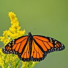 Monarch Butterfly - 43 by Michael Cummings