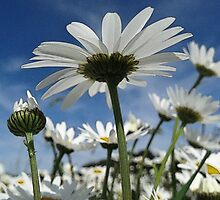 Birth Month Flower - April - Daisy (Daisies) by sitnica