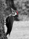 pileated woodpecker by tego53