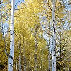 Aspen trees in Idaho by Forrest  Ray