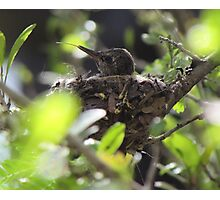Baby Hummingbird Sticking Out Its Tongue Photographic Print