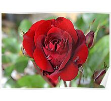 Birth Month Flower - June - Rose Poster