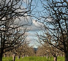 Stark silhouettes of apple trees in winter by Diane Nemea Laessig