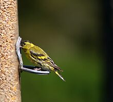 Male Siskin feeding by GreyFeatherPhot