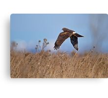 Hunting Harrier Canvas Print