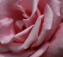 Pink Rose Petals by Indrani Ghose