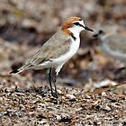 Red-capped Plover taken at Chilli Beach, Cape York. by Alwyn Simple