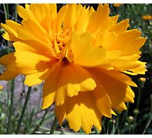 Golden Coreopsis Photographic Print
