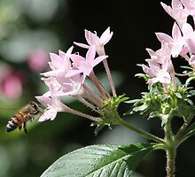 Honey bee in action by jozi1