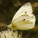"""Cabbage Moth-Sweet Landing"" by Heather Thorning"