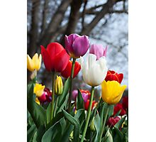 Coloured Tulips Photographic Print