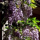 WIsteria Flowers Hanging In Beauty by Jane Neill-Hancock