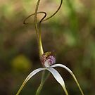 """ Unusual Curled Spider Orchid "" by Heather Thorning"