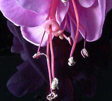 Fuchsia -- Heidi Ann II by Tom Newman