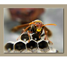 paper wasp Photographic Print