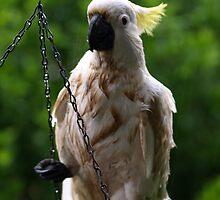 One Wet Cockatoo. by shortshooter-Al