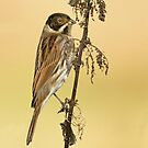 Reed Bunting by Richard Bond